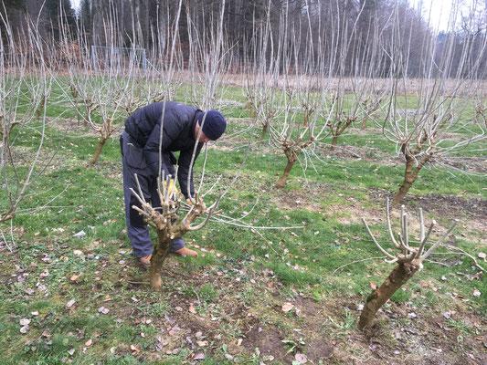Schnitt der Maulbeerbäume ist abgeschlossen.