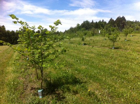 Haselnussbäume am 22.05.2015