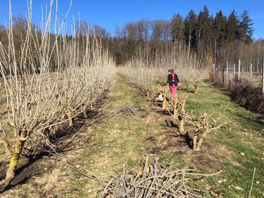 Maulbeerbäume werden geschnitten Februar 2019