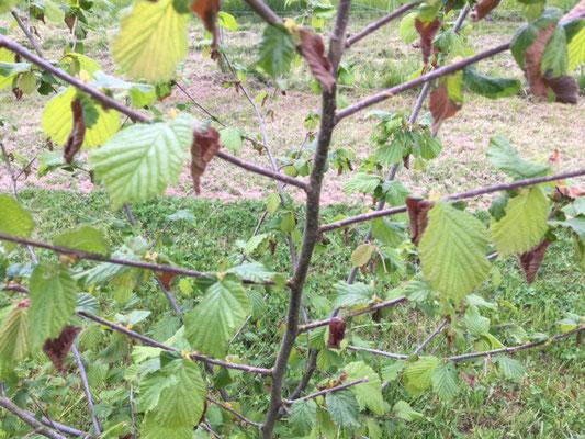 Der grosse Frost Ende April hat die Blätter geschädigt. Hoffentlich bleibt der Fruchtansatz erhalten.