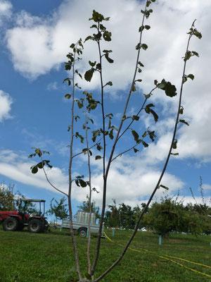 Durch Trockenheit geschädigter Haselnussbaum.