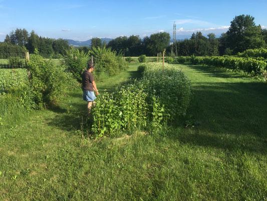 Buntbrache als Ökoelement mit mehr als 30 verschiedenen Pflanzenarten