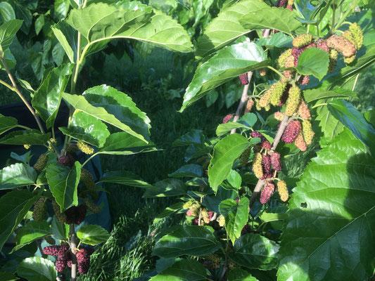 Ökoelement - Beeren tragende Maulmehrbäume
