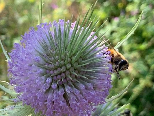 Insektenparadies (wilde Karde)