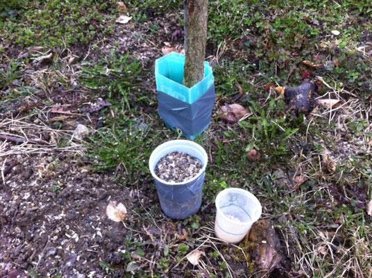 Zurückhaltende Düngung mit Hornspänen und Mulkafos. Total 33 Gramm N / Baum.