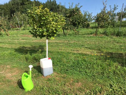 August: Einige Bäume zeigen gelbe Verfärbungen. Wir geben Eisen, Magnesium und Mangan