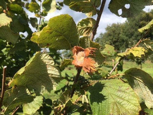 Die Nüsse fallen aus der Fruchtschale ...