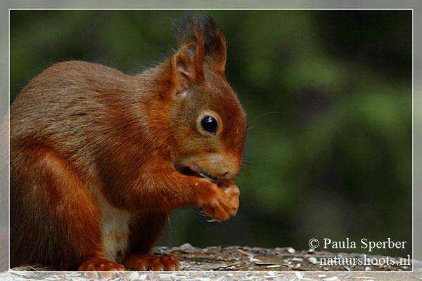 close up eekhoorntje