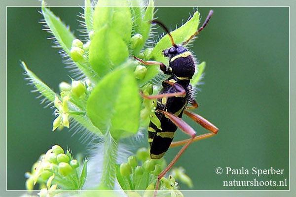kleine wespenbok
