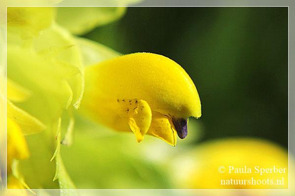 bloem ratelaar