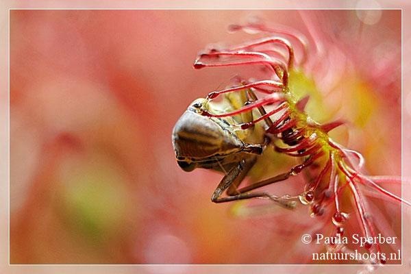 zonnedauw met cicade
