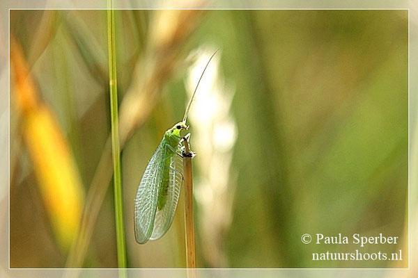 groen gaasvlieg