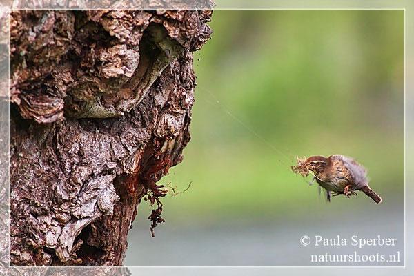 winterkoninkje bouwt nest