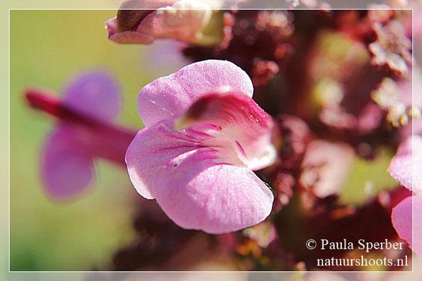 bloem moeraskartelblad