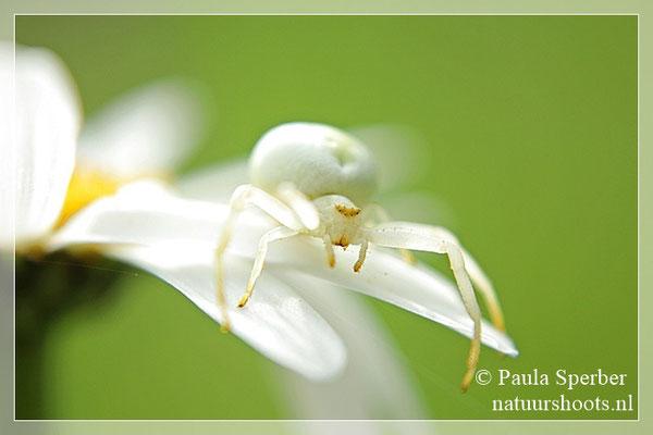 witte krabspin