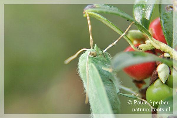 zomervlinder