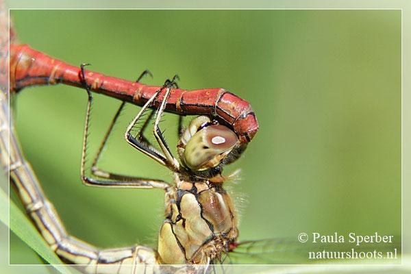paring bloedrode heidelibel