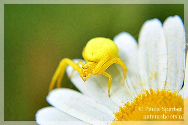 gele krabspin