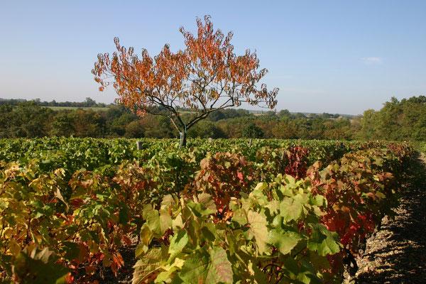 Les vignes des Jasnières
