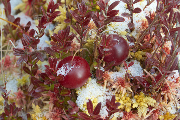 American or Large-fruited Cranberry