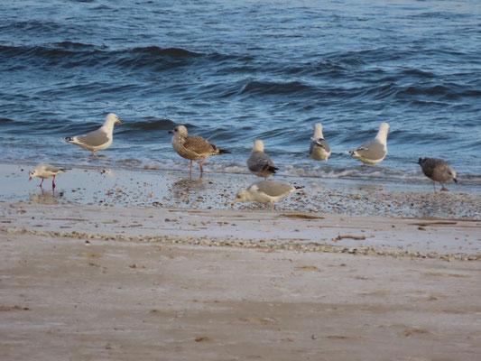 Silber- und Lachmöwen suchen am Strand von Ahlbeck im Muschelschill  nach Meeresfrüchten. / Foto: NABU Insel Usedom, B. Schirmeister