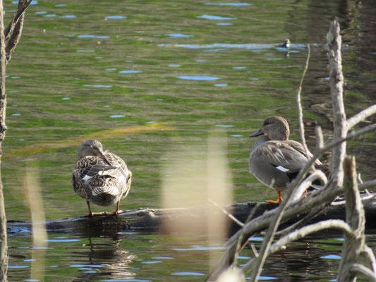 Paar der Schnatterente / Foto: NABU Insel Usedom