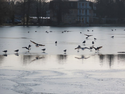 Möwen auf dem am Sonntag dünn überfrorenen Schloonsee in Bansin. Foto: NABU Insel Usedom, B. Schirmeister