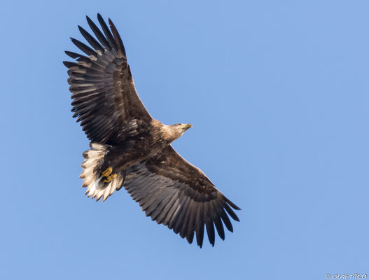 Seeadler (Foto: NABU/Olaf Titko)