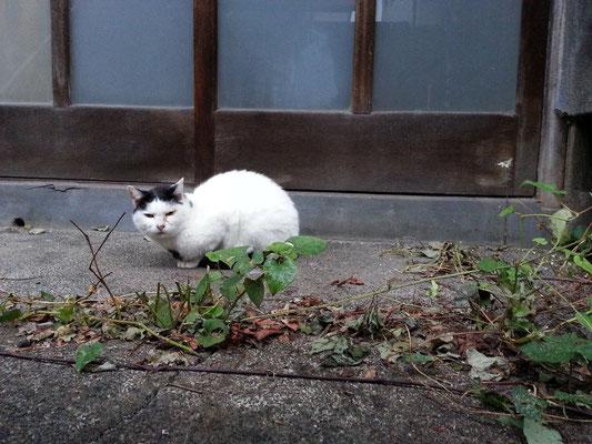 おはようにゃん! ぬこ田さんのどくだみハウス、取り壊しなのか玄関前のどくだみや庭の木が抜かれてますた! 【2014年10月22日】