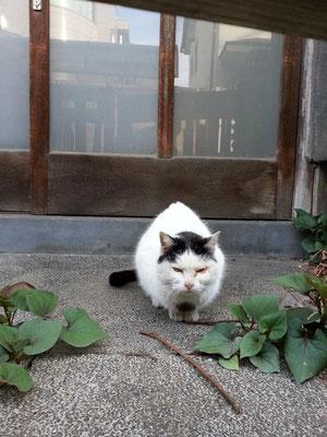 今朝のぬこ田健作さん。相変わらずの健作カットとスーパー三白眼! 【2014年4月11日】