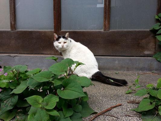 庭から定位置に戻る昼下がりのぬこ田健作さん。 【2014年5月5日】