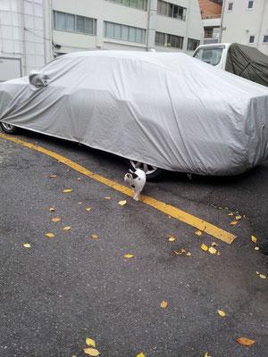 今日のぬこ田健作さんと車と落ち葉。ヽ(ΦωΦ)ノ 【2013年11月25日】