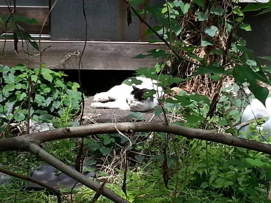 微睡む昼下がりのぬこ田健作さんを盗撮。w 【2014年5月8日】