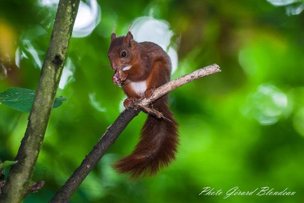Ecureuil roux au parc de Sceaux
