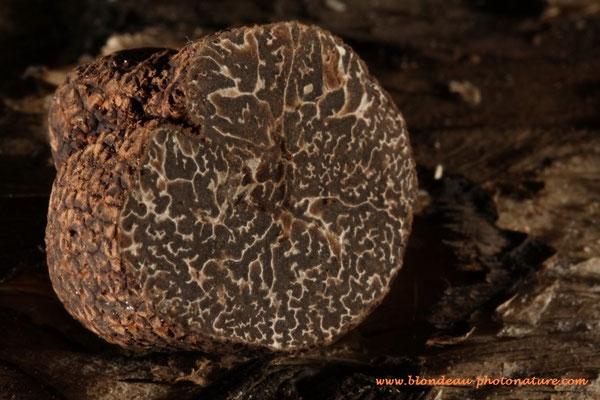 Tuber melanosporum; La truffe du Périgord