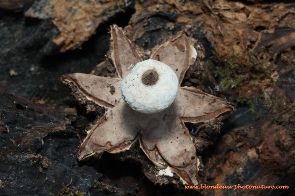 Geastrum striatum; Le geaster strié