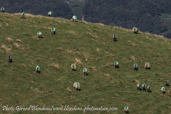 Moutons au vert