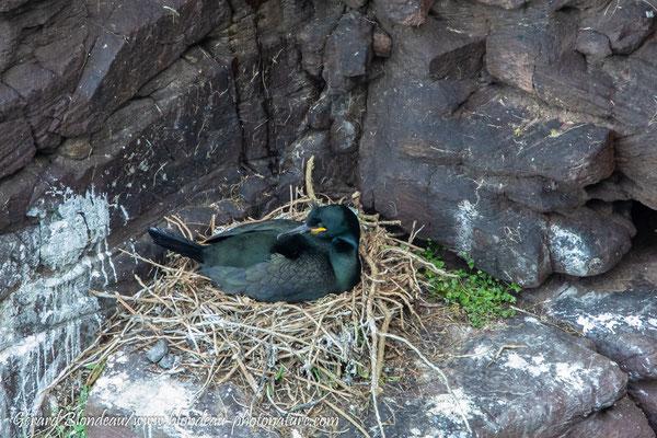 Cormoran huppé au nid