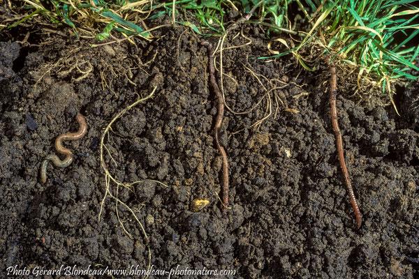 Coupe de sol avec lombrics