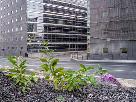Buddleia de David s'implantant près des tours de La Défense