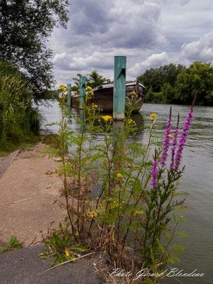 Séneçon et  Salicaire en bord de Seine dans le parc des Chanteraines