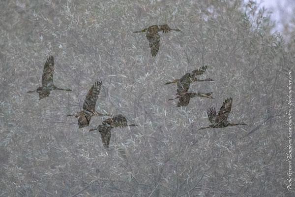 Grues cendrées dans la brume