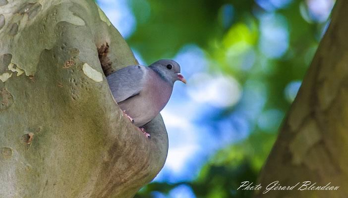 Pigeon colombin au parc de Sceaux
