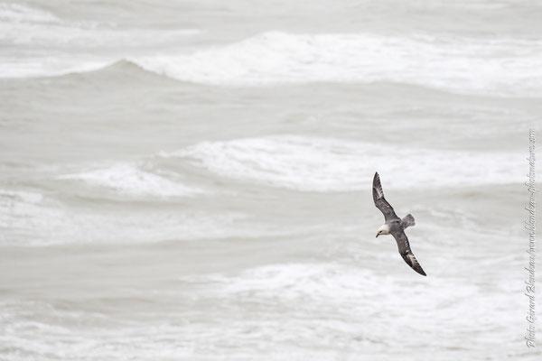 Fulmar boréal au dessus des vagues