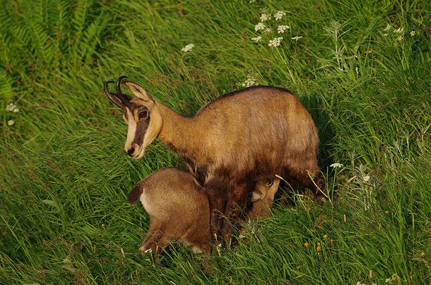 Gämse Muttertier mit Kitz beim Säugen