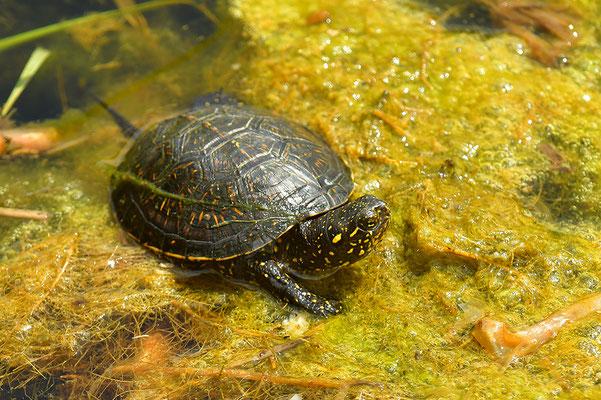 Europäische Sumpfschildkröte Jungtier