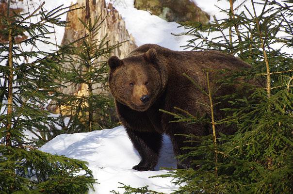 Braunbär Männchen, Nationalpark Bayrischer Wald Tierfreigelände Neuschönau