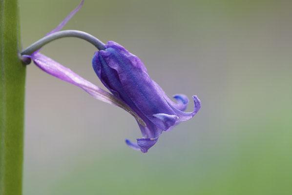 Hasenglöckchen Einzelblüte