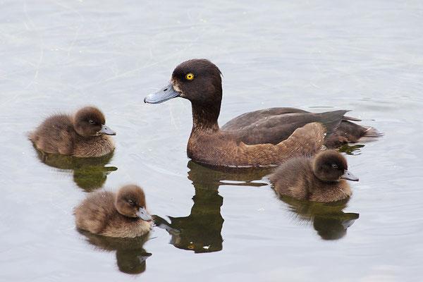 Reiherente Weibchen mit Jungvögeln