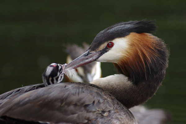 Haubentaucher mit Jungvogel